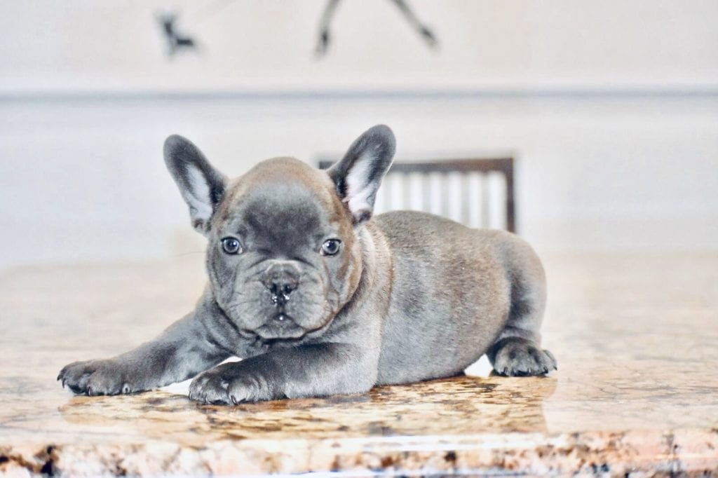 blue frenchie laying down looking at camera