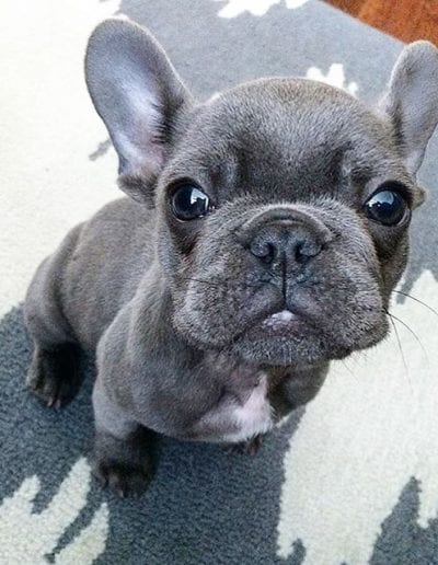 Can't wait for a basket full of these! One of my baby blues with _windycityfrenchie