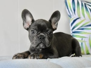 blue french bulldog puppy laying down