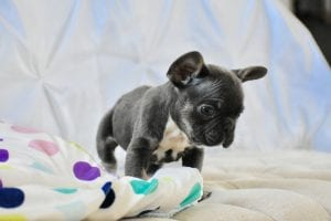 blue french bulldog puppy looking curious