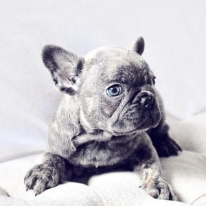 blue french bulldog laying looking right with blue eyes