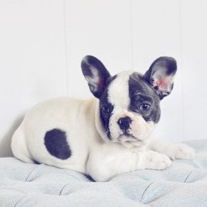 pied french bulldog laying down looking left