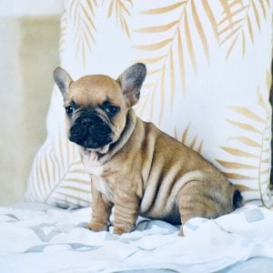 chunky black and tan french bulldog sitting