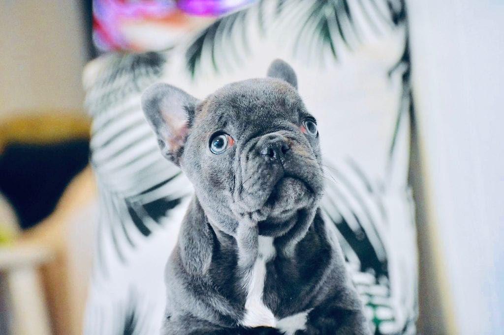 blue and white french bulldog looking up