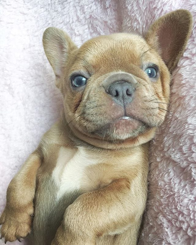 The Cutest French Bulldogs in all of Texas | French Bulldogs