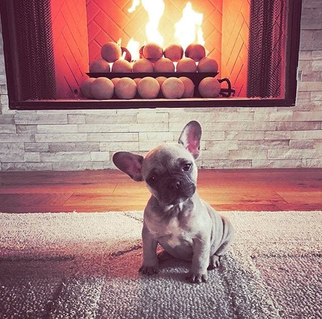 Frenchie by the fire