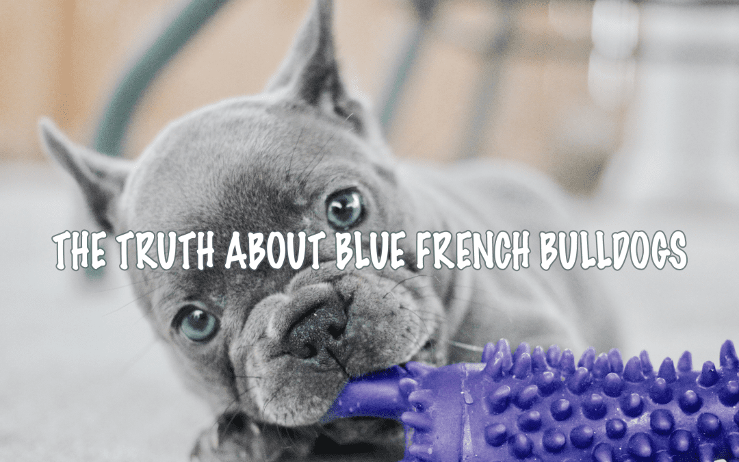 The Truth about Blue French Bulldogs