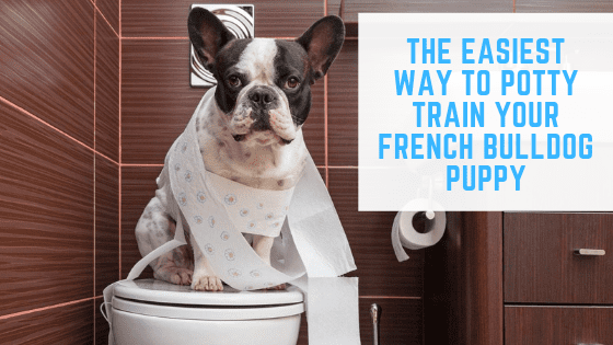 The Easiest way to potty Train Your French Bulldog Puppy