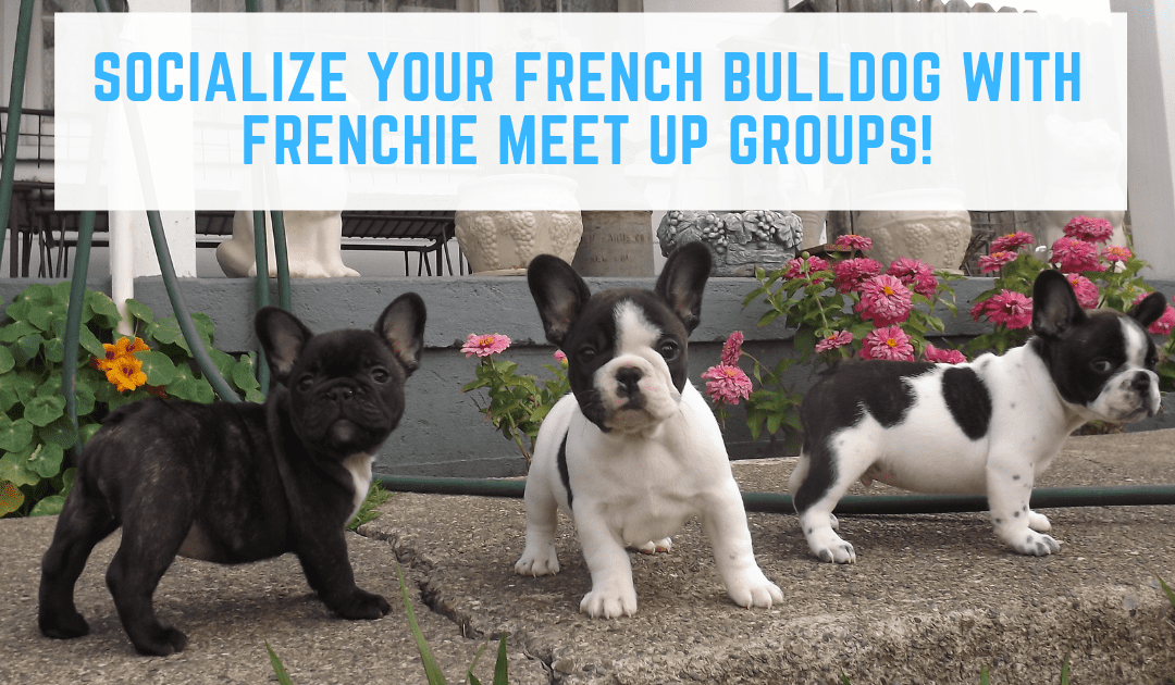 Socialize Your French Bulldog With Frenchie Meet Up Groups!