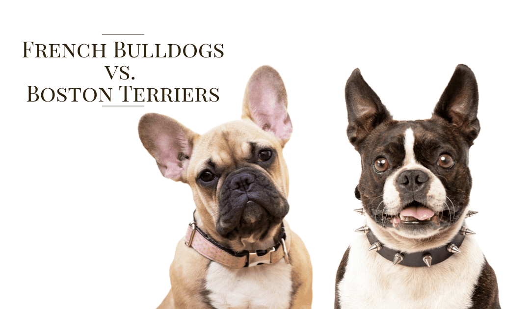 Frenchie vs Boston Terrier: What is the difference?