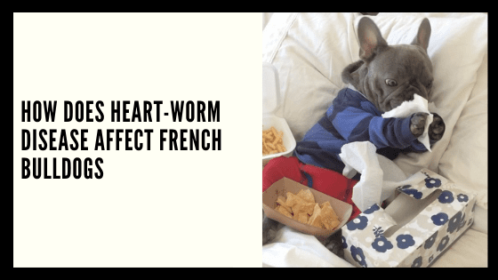 How does Heart-worm Disease affect French Bulldogs?