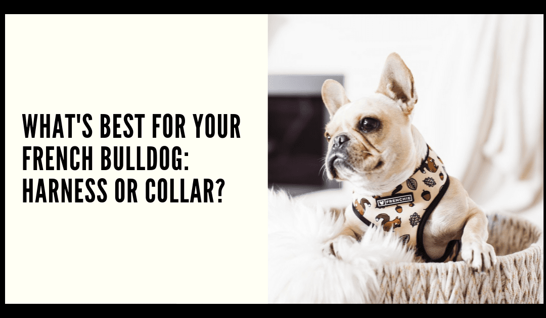 What's best for your French Bulldog: Harness or Collar?