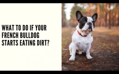 What to do if Your French Bulldog Starts Eating Dirt?