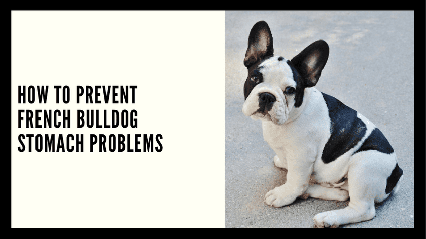 How to Prevent French Bulldog Stomach Problems