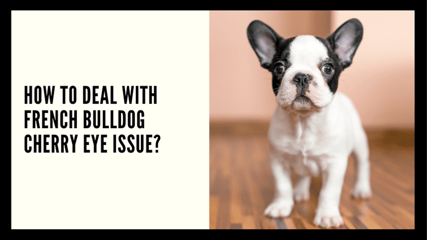 How To Deal With French Bulldog Cherry Eye Issue?