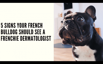 5 Signs your French Bulldog Should see a Frenchie Dermatologist