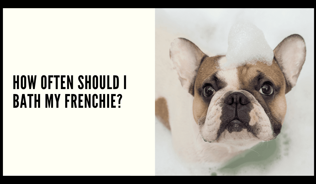 How Often Should I Bath my Frenchie
