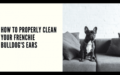 HOW TO PROPERLY CLEAN YOUR FRENCHIE'S EARS