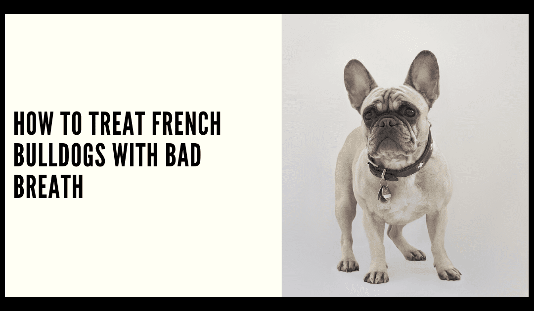 How to Treat French Bulldogs with Bad Breath