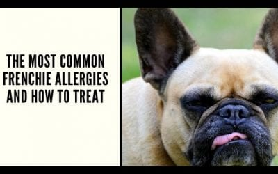 The Most Common Frenchie Allergies and How to Treat