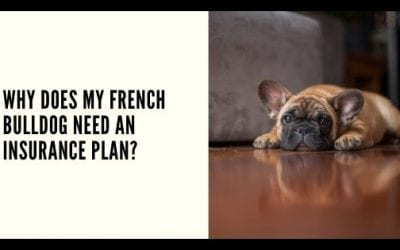 Why does My French Bulldog Need an Insurance Plan?