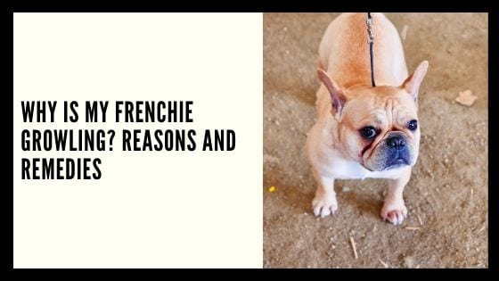 Why Is My Frenchie Growling? Reasons and Remedies