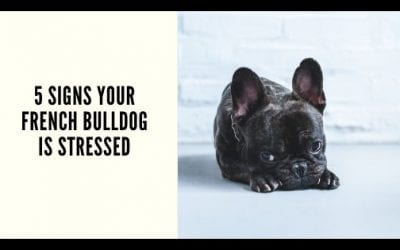 5 Signs Your French Bulldog Is Stressed