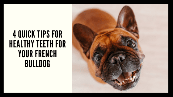 4 Quick Tips for Healthy Teeth for your French Bulldog