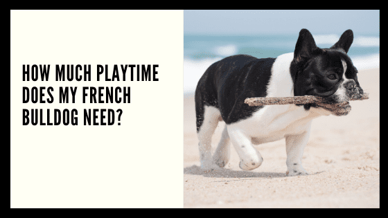 How much playtime does my French Bulldog need?