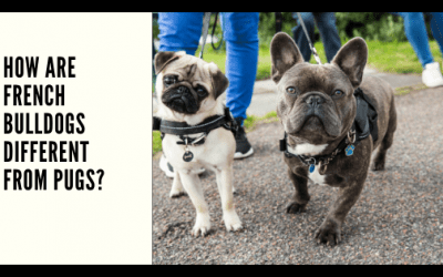 How are French Bulldogs Different From Pugs?