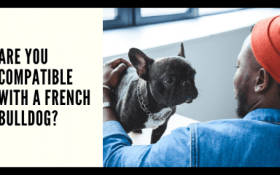 Are You Compatible with A French Bulldog?