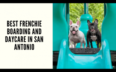 Best Frenchie Boarding and Daycare in San Antonio