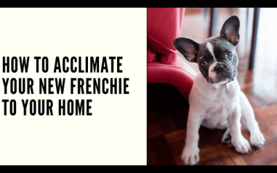 How to Acclimate Your New Frenchie to Your Home