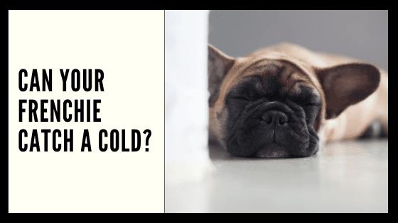 Can Your Frenchie Catch a Cold?