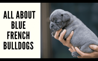 All About Blue French Bulldogs