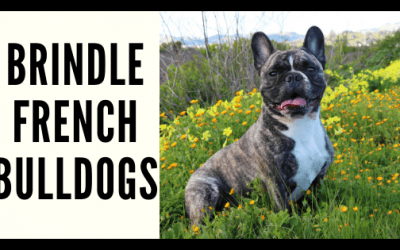 Brindle French Bulldogs
