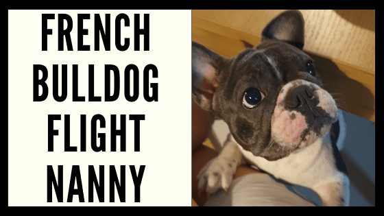 French Bulldog Flight Nanny