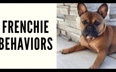 Common Frenchie Behavioral Traits & How To Fix Them