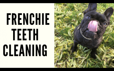 STEP-BY-STEP: HOW TO BRUSH YOUR FRENCH BULLDOGS TEETH