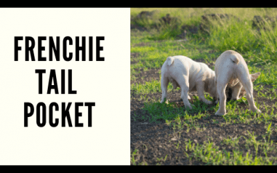 How to care for your Frenchie's Tail Pocket