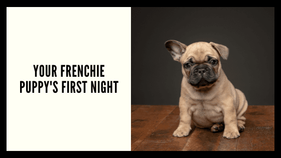 Frenchie Pups First Night