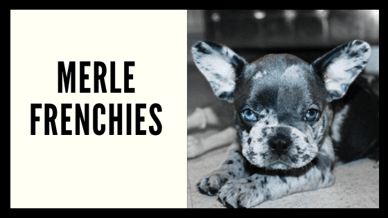 Blue Merle Facts