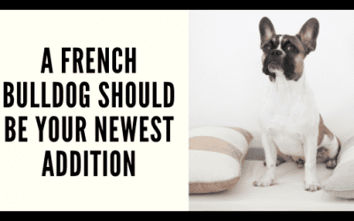 When a French Bulldog Should Be Your Newest Addition